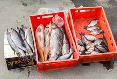 Сырцовая пресноводная рыба готовая для продажи на улице города Стоковое Изображение RF