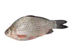 Сырцовая пресноводная рыба, лежа на белой предпосылке Стоковые Изображения RF