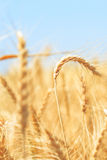 Сырцовая пшеница в пшеничном поле Стоковая Фотография