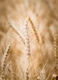Сырцовая пшеница в пшеничном поле Стоковое Фото