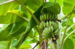 Сырцовая смертная казнь через повешение пука банана на дереве в саде Стоковая Фотография