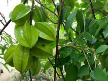 Сырцовое Starfruit стоковое изображение rf