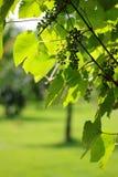 Сырцовые виноградины - vitis Стоковое Изображение RF