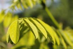Сырцовые зеленые листья дерева саранчи в фокусе Стоковые Фото