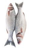 Сырцовые изолированные рыбы морского волка стоковые изображения