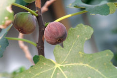 Сырцовые и зрелые общие смоквы приносить на ветви смоковницы в солнечном свете, природе Стоковое фото RF