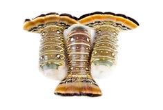 Сырцовые кабели омара изолированные на белизне Стоковое фото RF