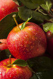 Сырцовые органические красные торжественные яблоки Стоковые Изображения RF