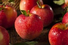 Сырцовые органические красные торжественные яблоки Стоковая Фотография