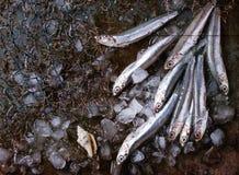 Сырцовые свежие рыбы камс Стоковое Изображение RF