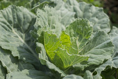 Сырцовые урожаи капусты Стоковое Изображение