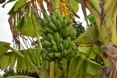 Сырцовый банан на банановом дереве Стоковая Фотография RF