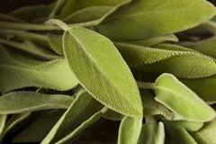 Сырцовый зеленый органический шалфей Стоковое Изображение