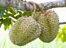 Сырцовый плодоовощ дуриана. Стоковое фото RF