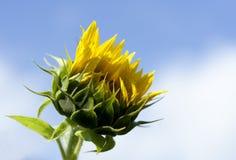 сырцовый солнцецвет Стоковое Фото