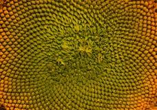 сырцовый солнцецвет семян Стоковое Изображение RF