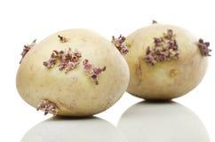 Сырые картошки на белой предпосылке Стоковые Фото
