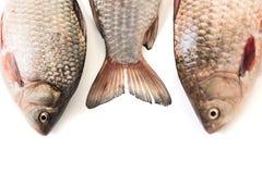 Сырые рыбы crucian Стоковые Изображения RF