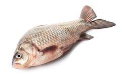 Сырые рыбы crucian Стоковое Фото