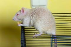 сыр ест крысу стоковое фото rf