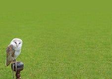 Сыч амбара Стоковая Фотография RF