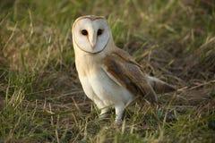 Сыч амбара (Tyto alba) отдыхая в траве Стоковое Изображение RF