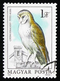 Сыч амбара (Tyto alba), сычи серии, около 1984 Стоковое фото RF