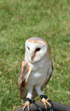 Сыч амбара (Tyto alba) Стоковое Фото