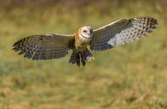 Сыч амбара (Tyto alba) Стоковая Фотография RF