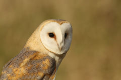 Сыч амбара (Tyto alba) Стоковые Фото