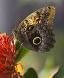 сыч бабочки Стоковые Изображения RF