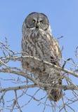 Сыч большого серого цвета на ветви дерева с яркой предпосылкой голубого неба Стоковое фото RF