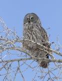 Сыч большого серого цвета на ветви дерева с яркой предпосылкой голубого неба Стоковые Изображения RF