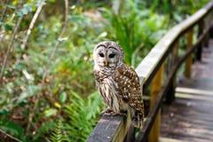 Сыч в заболоченном месте Флориды, деревянном следе пути на национальном парке болотистых низменностей в США Популярное место для  Стоковая Фотография
