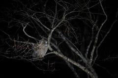 Сыч в ноче Сыч рыб ` s Blakiston, blakistoni Bubo, самый большой живущий вид сыча, сыча рыб, подгруппы орла Звероловство птицы Стоковая Фотография
