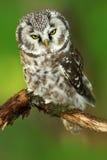 Сыч в сыче малой птицы леса бореальном сидя на ветви, бореальный сыч Borel с ясной зеленой предпосылкой леса Птица в природе ha Стоковая Фотография RF