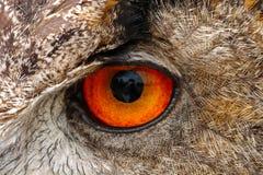 сыч глаза орла крупного плана европейский Стоковые Изображения