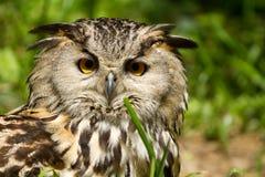 сыч европейца орла Стоковые Изображения RF