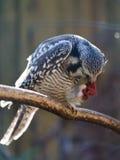 Сыч ест Российскую Федерацию России Сибиря птицы леса мяса захватническую Стоковые Фотографии RF