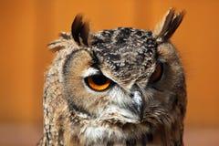сыч индейца орла bubo bengalensis Стоковые Изображения RF