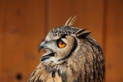 сыч индейца орла bubo bengalensis Стоковые Фотографии RF