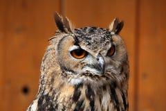 сыч индейца орла bubo bengalensis Стоковое Изображение RF