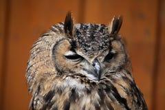 сыч индейца орла bubo bengalensis Стоковая Фотография RF
