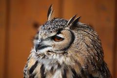 сыч индейца орла bubo bengalensis Стоковая Фотография