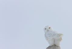 сыч Канады снежный Стоковая Фотография