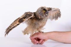 Сыч молодой птицы Стоковая Фотография