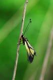 сыч мухы Стоковые Изображения RF