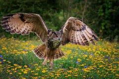 Сыч орла в полете стоковая фотография rf