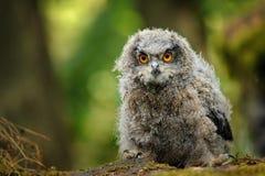 Сыч орла молодого младенца евроазиатский Стоковые Фотографии RF