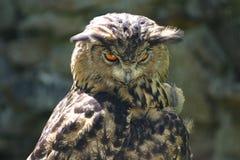 сыч орла Стоковое Фото